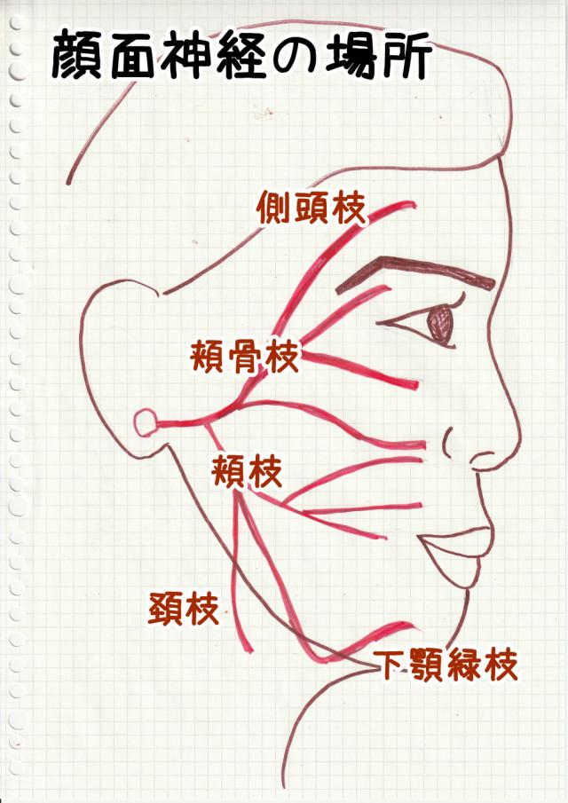 顔面神経の場所